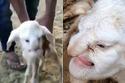 Cừu mặt người kỳ dị chào đời tại Nga