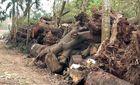 Phó Thủ tướng yêu cầu xử nghiêm vụ chặt cây xanh