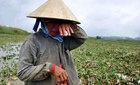 Dân mạng hò nhau mua dưa hấu cứu nông dân Quảng Nam