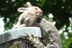 """Kỳ đà """"khủng"""" trèo cột điện vồ bắt thỏ"""