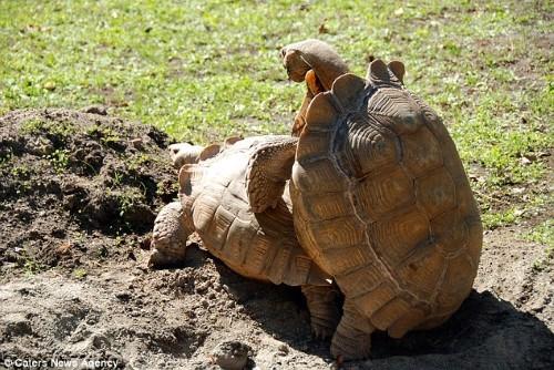 Rùa đực ngã ngửa khi 'mây mưa' với bạn tình