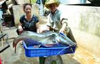 Hai con cá lăng dài 1 m mắc câu trên sông Sêrêpốk