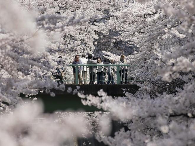hoa đào, Nhật Bản, sắc hoa