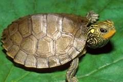 Thần dược rùa vàng 300 triệu/kg ở Thanh Hóa