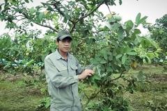 Vườn ổi trái mùa tiền tỷ ở đất Bắc