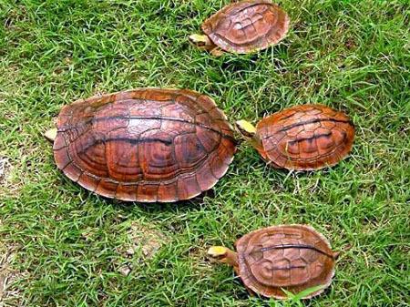 Loài rùa thần dược Việt Nam sang Trung Quốc giá cả tỷ đồng