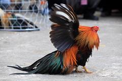 Cuộc thi sắc đẹp của giống gà oai phong, sung mãn