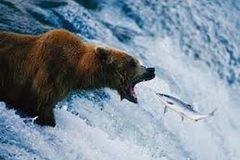 Thủ thuật bắt cá dị thường của gấu già