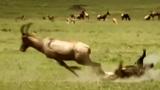 Linh cẩu ngã dúi dụi khi đơn độc săn linh dương