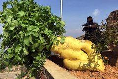 """Trung Quốc: Trồng được củ cải """"khủng"""", nặng 15kg"""