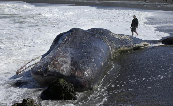 cá nhà táng, khổng lồ, mắc cạn, dạt bờ, Mỹ, động vật biển có vú