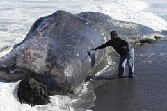 Cá nhà táng khổng lồ trôi dạt vào bờ biển Mỹ