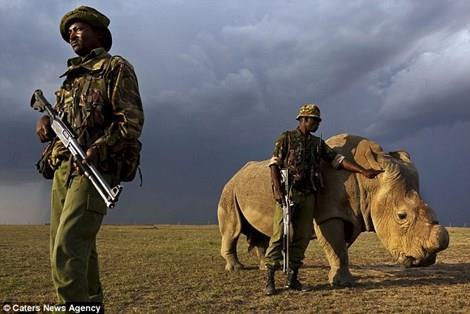 Con tê giác trắng đực cuối cùng trên Trái Đất được bảo vệ 24/7