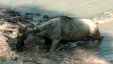 Linh dương vùng vẫy chịu gãy chân thoát hàm cá sấu