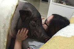 Thành hiện tượng mạng vì ôm lợn suốt ngày đêm