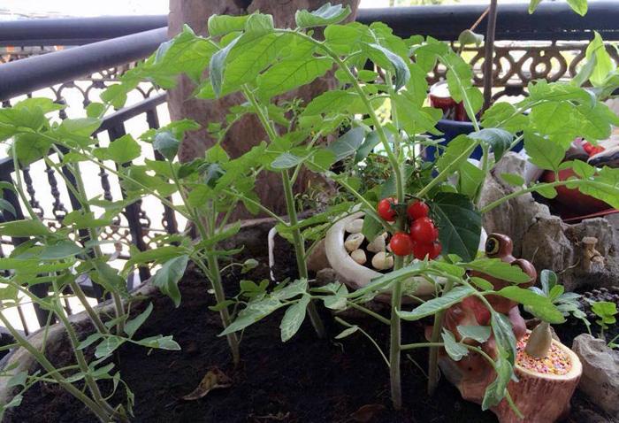 Chiều con, mẹ trồng vườn rau quả tý hon trên nóc nhà