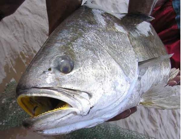Mổ ruột cá sú vàng, lấy cái bóng bán 55 ngàn USD/kg
