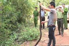 Phạm nhân bị hổ mang chúa dài 3m cắn tử vong