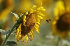 Phát hiện ong mật 'nghiện' thuốc trừ sâu