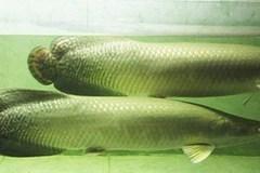 Đại gia bị mất trộm hai con cá Hải tượng trăm triệu