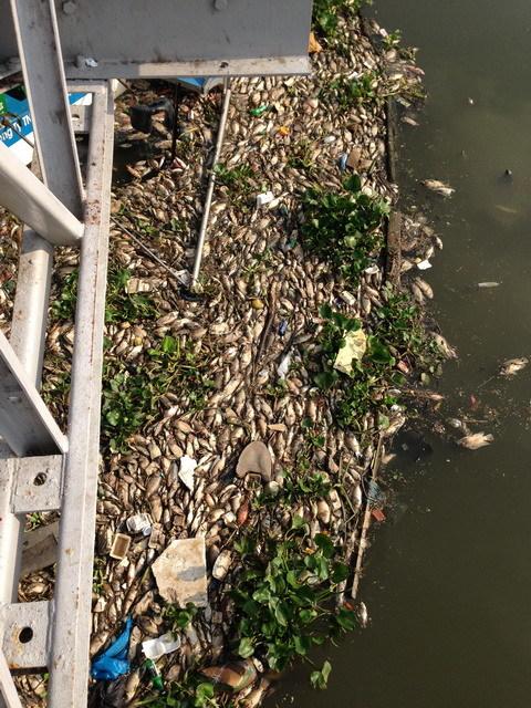 TP.HCM : Cá chết nổi trắng kênh Nhiêu Lộc