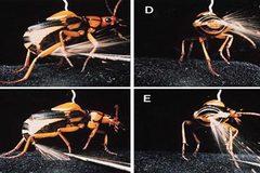 Vũ khí lợi hại của bọ xịt hơi cay