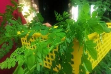 Dân phố săn lùng loại rau lạ tự diệt sâu, bổ hơn thuốc