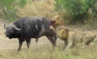 Hai sư tử bỏ chạy vì trâu rừng quá khoẻ
