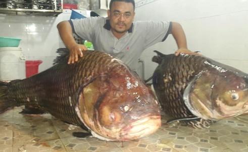 Đại gia Sài Thành xẻ thịt cặp cá hô khủng 250kg của Lào