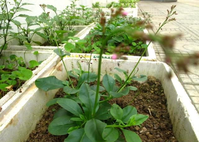 Hà thành sành ăn: Trồng cả vườn rau dại trên sân thượng
