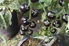 Cà chua đen 140 ngàn/kg, chờ cả năm mới được mua