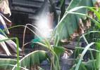 Phát hiện xác chết treo cổ trong vườn mít