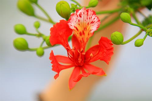 Đầu H 232 Ngắm Hoa Phượng Vĩ đỏ Rực Trời Thủ đ 244