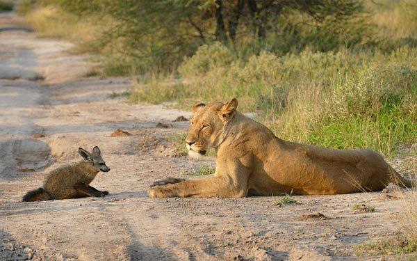 Cáo nhỏ ranh mãnh chống lại cả bầy sư tử