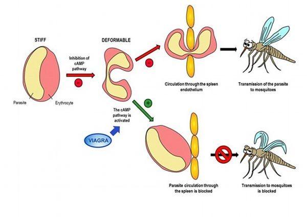 'Tiên dược phòng the' giúp chống bệnh sốt rét