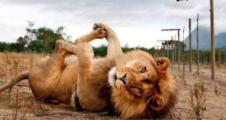 Hạnh phúc của sư tử tự do sau 13 năm trong lồng sắt