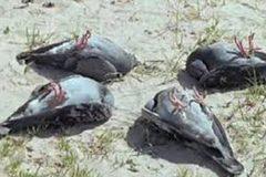 Xem chim bồ câu bị thôi miên, đồng loạt nằm ngửa bụng