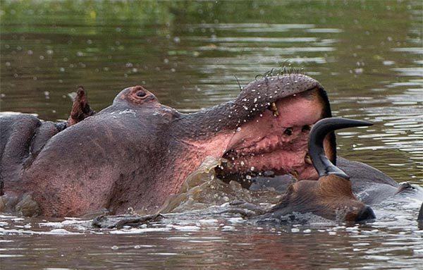 linh dương đầu bò, hà mã, cá sấu, cướp mồi
