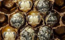 Xem ong non vật lộn chống ký sinh trùng hút máu