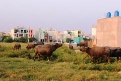 Chăn trâu bò kiếm trăm triệu giữa phố Sài thành
