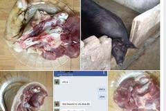 Mát tay, 1 tuần bán hết 3 con lợn qua Facebook