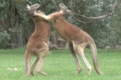 Cuộc huyết chiến nảy lửa giữa 2 đấu sĩ kangaroo
