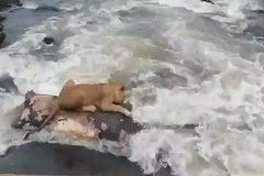 Sư tử khôn ngoan cứu mình khỏi chết đuối