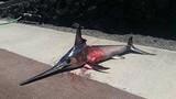 Ngư dân bị cá kiếm đâm thủng ngực