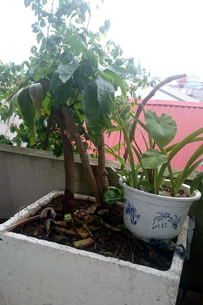Dân Thủ đô trồng cả vườn quả sạch trên sân thượng