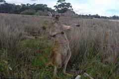 Kangaroo nhại đánh đàn guitar cực đỉnh