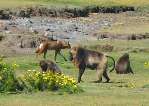 Phát hiện khỉ đang thuần hóa chó sói - 1