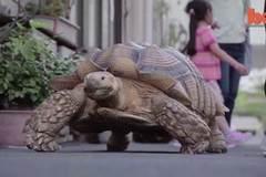 Xem rùa khổng lồ bách bộ trên đường phố