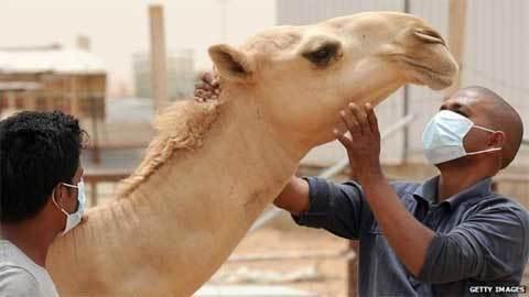 Vì sao WHO ngăn dân uống nước tiểu lạc đà?