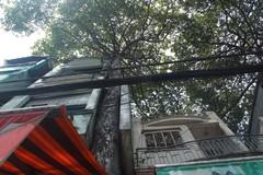 Hàng chục cây cổ thụ Sài Gòn bị 'nhốt' trong nhà dân